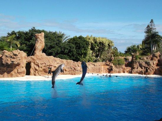 Un tigre picture of loro parque puerto de la cruz tripadvisor - Loro parque puerto de la cruz ...