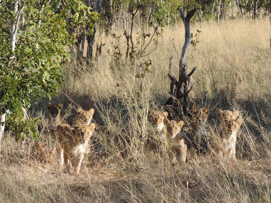 Somalisa Camp : Lion Cubs 8 of them