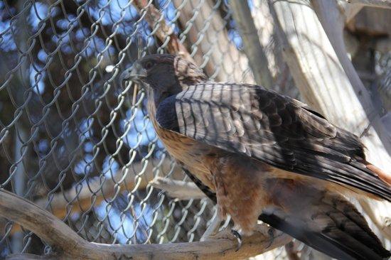 Big Bear Alpine Zoo at Moonridge : Gorgeous Golden Eagle!
