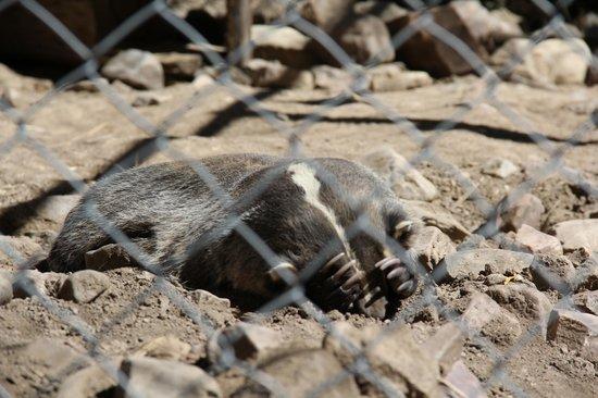 Big Bear Alpine Zoo at Moonridge : Peek-aboo Badger