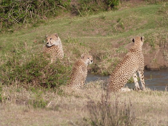 Mara Bush Houses, Asilia Africa: The cheetahs