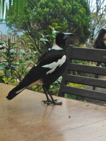 The Polish Place: Magpies want your lunch