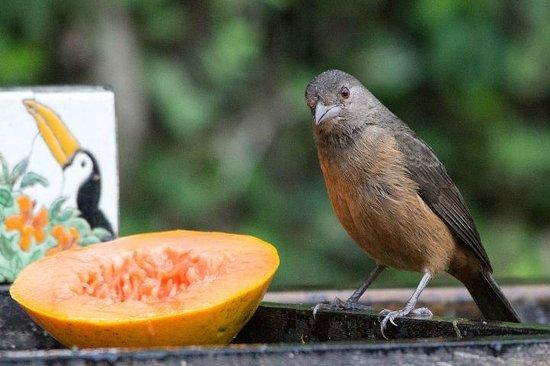 Hotel Coquille - Ubatuba: Sabiá-laranjeira no comedouro próximo ao local do café da manhã