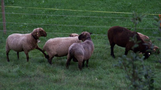 Hotel Berghof Wilderswil-Interlaken: Sheep with there bells on
