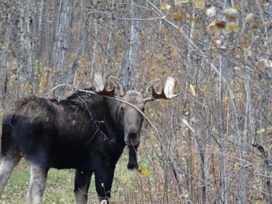 Elk Island National Park: Moose After Giving Up The Fight