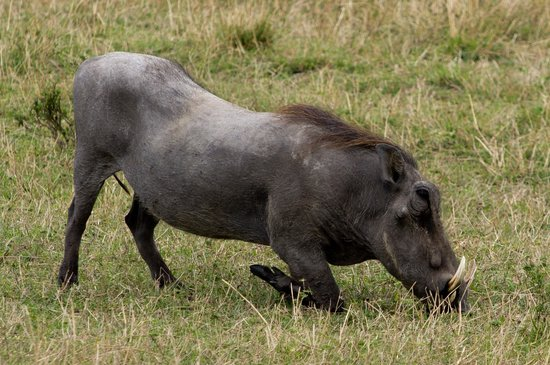 Gamewatchers Adventure Camp, Ol Kinyei: One of the Ugly 5 - warthog