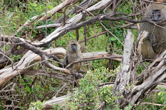 Gamewatchers Adventure Camp, Ol Kinyei: Curious baby baboon