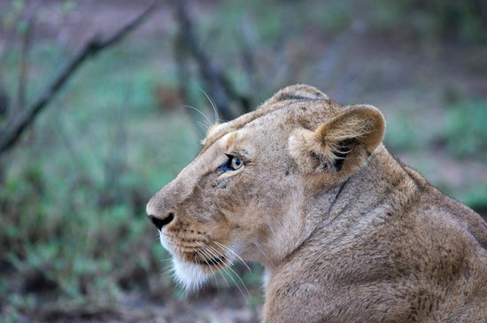 Gamewatchers Adventure Camp, Ol Kinyei: Lioness keeping an eye on the kids and us