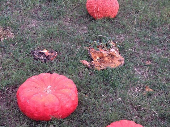 Dewberry Farm: Rotting pumpkins everywhere