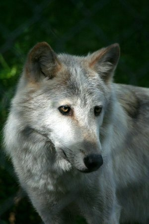 Wolf at Lakota Wolf Preserve