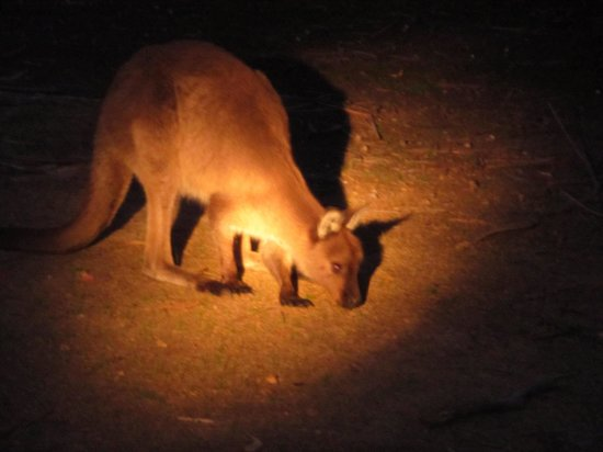 Hanson Bay Wildlife Sanctuary : Kangaroo spotting by night