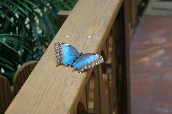 Key West Butterfly and Nature Conservatory: Blue Morpho wings open