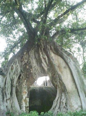 Hotel Hacienda Cocoyoc: árbol sobre muro