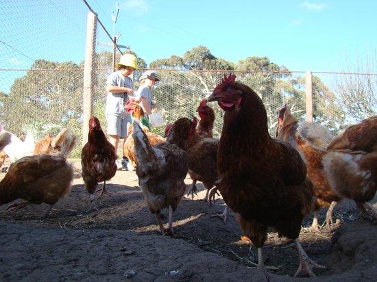 Breakaway Farmstay: Feeding the chooks