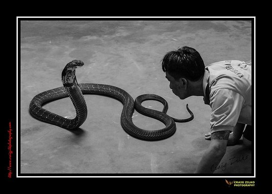 Phuket Cobra Show and Snake Farm: The Stare