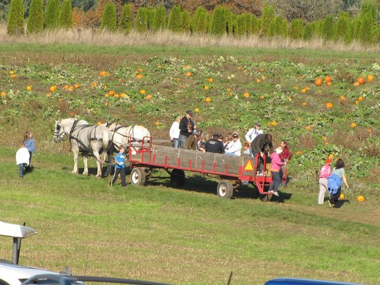 Damascus, OR: Saucer and Dan pulling the wagon to the pumpkin patch