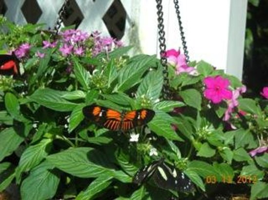 Key West Butterfly and Nature Conservatory: Just one of many hanging baskets