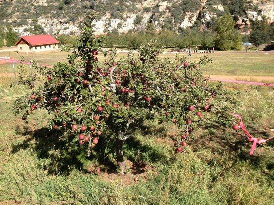 Slide Rock State Park: Loaded apple tree