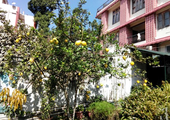 Highwinds, Guest House: Strange lemon plant in the garden