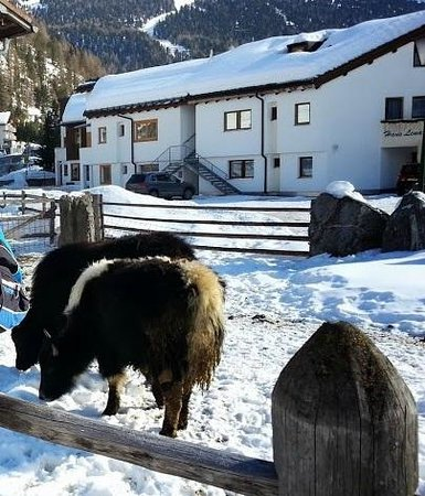 Solda, Italy: gli yak all'esterno