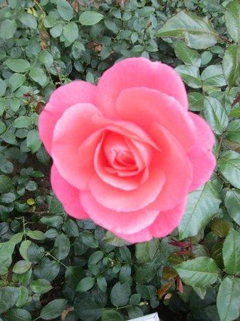 Rosengarten der Neuen Residenz: Rose Garden at the New Residenz・・・可愛いピンク