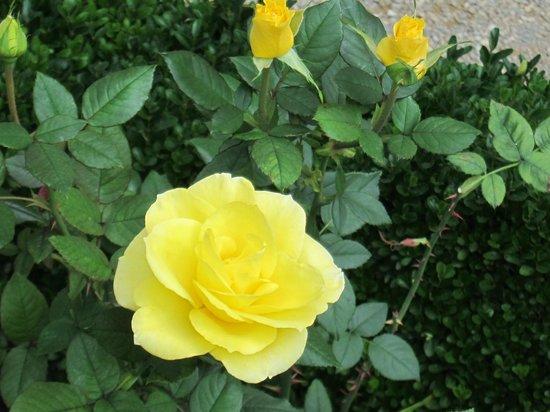 Rosengarten der Neuen Residenz: Rose Garden at the New Residenz・・・淡いイエローが美しい