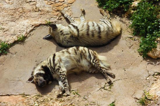 Χάιφα, Ισραήλ: A pair of hyenas resting in Haifa Zoo