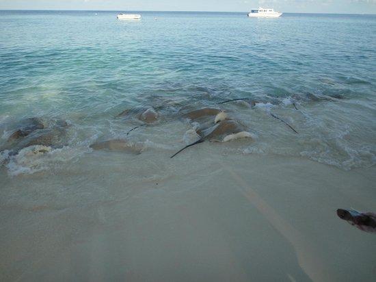 Vivanta by Taj Coral Reef Maldives: razze 2