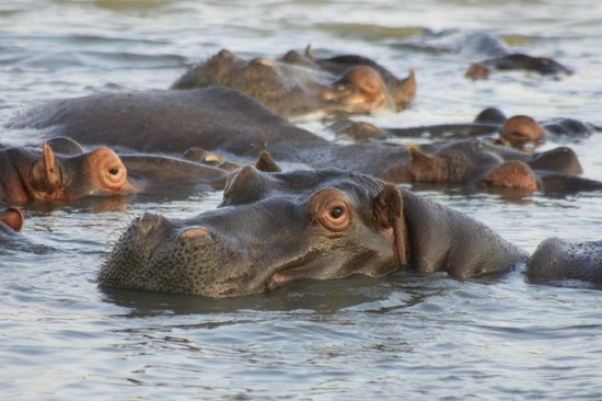 Heritage Day Tours & Safaris: Hippos!  We were close.