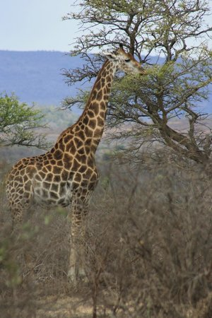 Heritage Day Tours & Safaris: Giraffe at hluhluwe