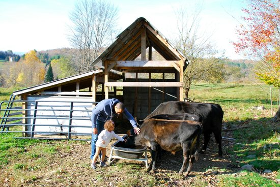 Perry Family Farm: Feeding cows
