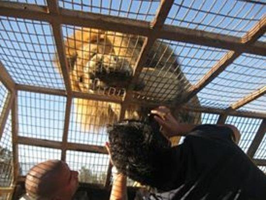 Parque Safari: Mirar a los leones a sus ojos