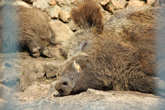 Haifa Educational Zoo : Sleepy piggy :)