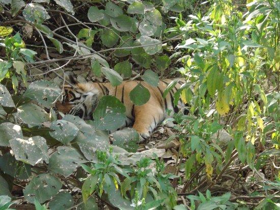 Vivanta by Taj - Sawai Madhopur Lodge: Tiger