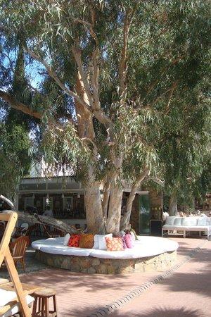 Okaliptus Hotel: Een van de vele Okalyptus bomen