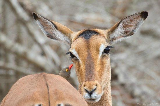 Umkhumbi Lodge: Impala with red-billed oxpecker at Hluhluwe-Imfolozi Reserve