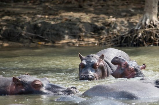 Umkhumbi Lodge: Hippos from St. Lucia estuary