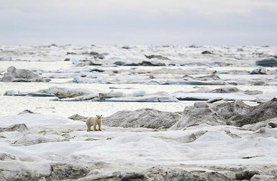 Chukotka Autonomous Region, Russia: Polar bear on sea ice 2013