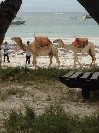 Diani Sea Lodge: daily camels on beach