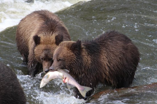 Knight Inlet Lodge: Grizzly Bears Fishing