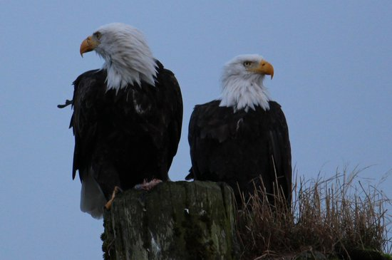 Knight Inlet Lodge: Eagles