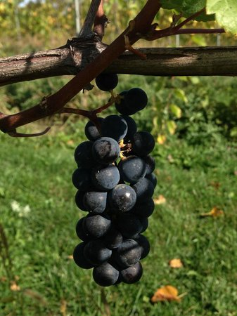 Waconia, MN: Marquette grapes - make some niiiize wine!!