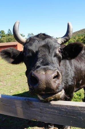 Woodstock Farm Sanctuary : Cow