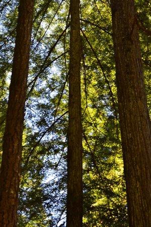 Jedediah Smith Campground : Beautiful trees