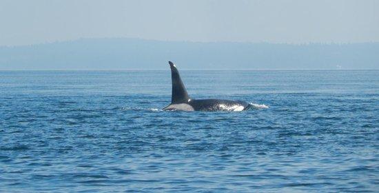 San Juan Island Whale & Wildlife Tours: Orca surfacing