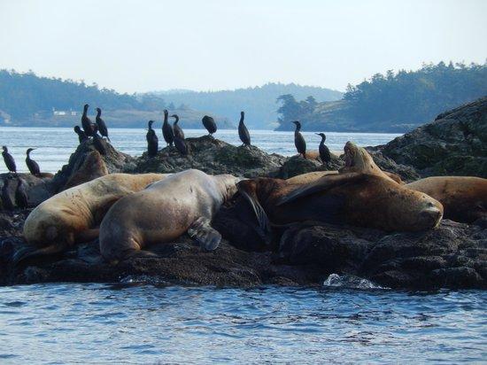 San Juan Island Whale & Wildlife Tours: Stellar Sea Lions