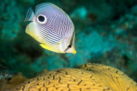 Ocean Encounters Diving : Four eyed butterfly fish and peppermint goby