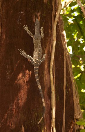 Daintree Tours : Local Lizard