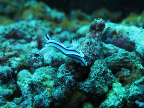 Garden Island Resort: sea slug
