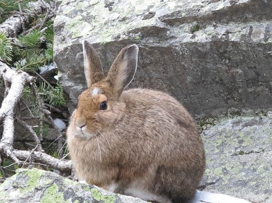Cathedral Lakes Lodge: Rabbit getting ready for winter